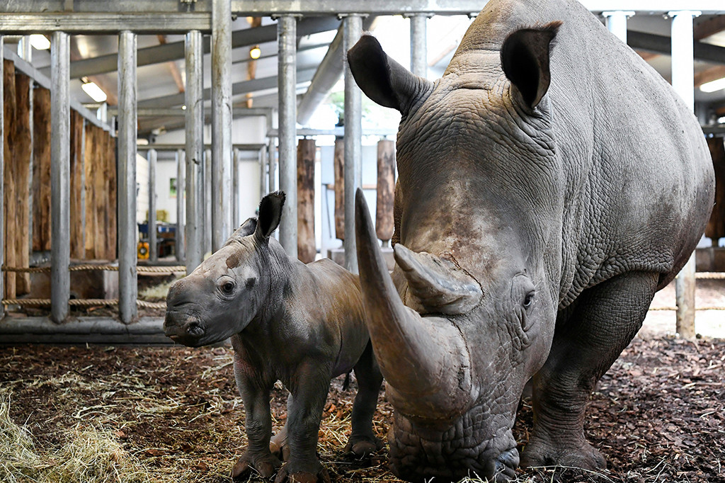 baby rhino dutch zoo2