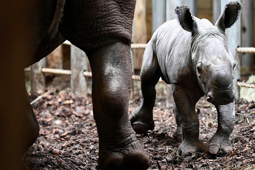 baby rhino dutch zoo3